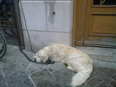 Lublaň-pes