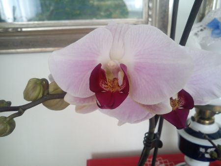 orchidej Janinka